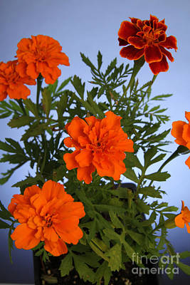 Marigolds Poster by Photo Researchers, Inc.