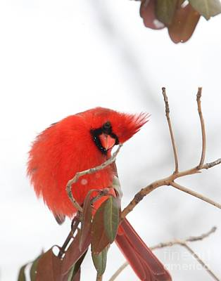 Poster featuring the photograph Northern Cardinal by Jack R Brock