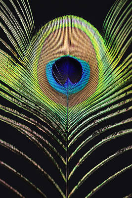 Peacock Feather Poster