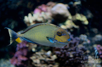 Tropical Fish Poster by Carol Ailles