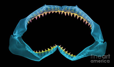 X-ray Of Shark Jaws Poster by Ted Kinsman
