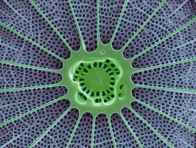 Diatom, Sem Poster