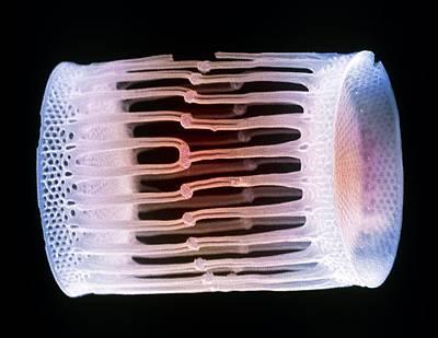 Diatom Alga, Sem Poster