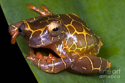 Clown Tree Frog Poster