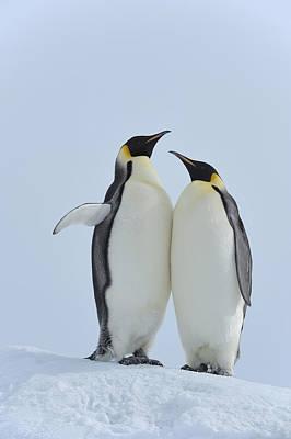 Emperor Penguin Poster by Raimund Linke