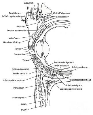 Illustration Of Eye Anatomy Poster