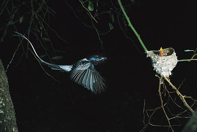 Madagascar Paradise Flycatcher Poster