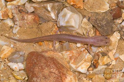 Ozark Blind Cave Salamander Poster by Dante Fenolio