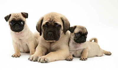 Pug And English Mastiff Puppies Poster by Jane Burton