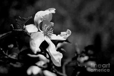 White Magnolia Poster by Dariusz Gudowicz