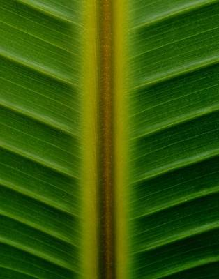 Wild Banana Leaf Poster by Werner Lehmann