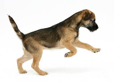 Border Terrier Puppy Poster