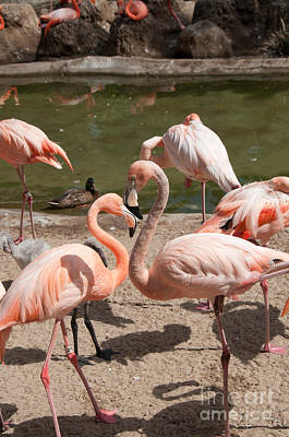 Flamingos Poster by Carol Ailles