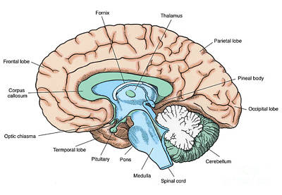 Illustration Of Human Brain Poster by Science Source