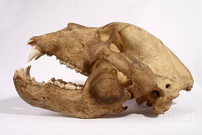 Kodiak Bear Skull Poster