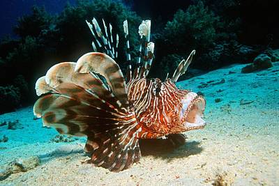 Lionfish Poster by Georgette Douwma