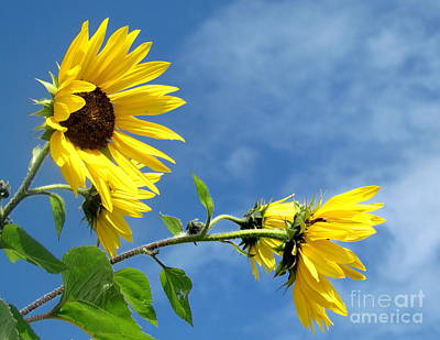 Poster featuring the photograph Sunflowers by France Laliberte