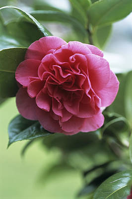 Camellia Flower Poster by Adrian Thomas