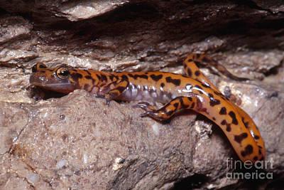 Cave Salamander Poster by Dante Fenolio
