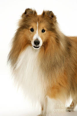 Sheltie Poster by Jane Burton