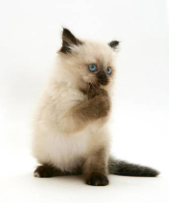 Birman-cross Kitten Poster