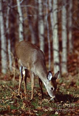 Poster featuring the photograph White-tailed Deer by Jack  R Brock