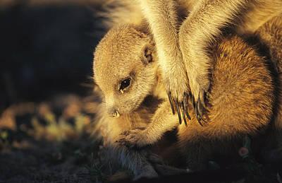 A Baby Meerkat Snuggles Poster by Mattias Klum