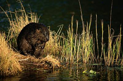 A Beaver Castor Canadensis Perches Poster by Tim Laman