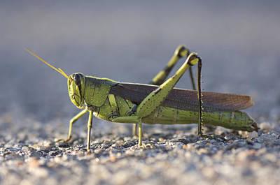 A Bird Grasshopper Schistocerca Obscura Poster by Joel Sartore