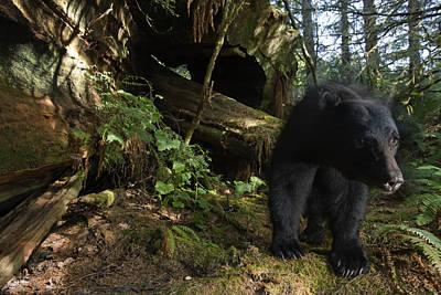 A Black Bear Who Strips Bark Poster by Michael Nichols