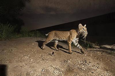 A Bobcat Crosses A Rio Grande Border Poster by Joel Sartore