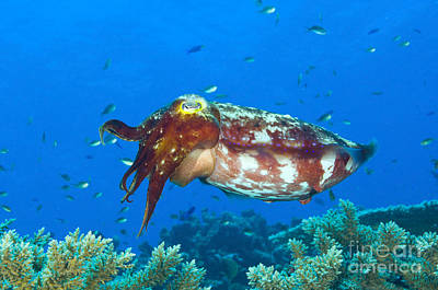 A Broadclub Cuttlefish, Kimbe Bay Poster
