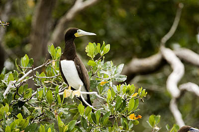 A Brown Booby Sula Leucogaster Poster
