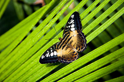 A Butterfly Perches On A Palm Frond Poster by Taylor S. Kennedy