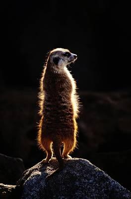 A Captive Meerkat Suricata Suricatta Poster by Tim Laman