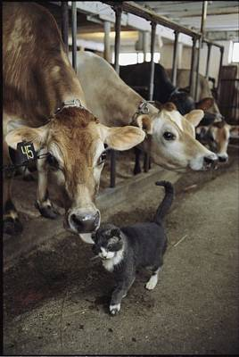 A Cat Accepts A Lick From A Cow Poster