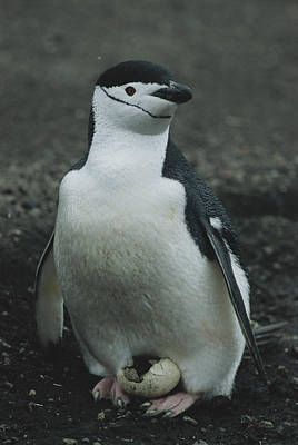 A Chinstrap Penguin Broods An Egg That Poster