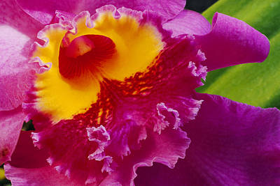A Close View Of A Bright Pink Cattleya Poster