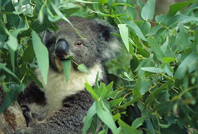 A Close View Of A Koala Munching Poster