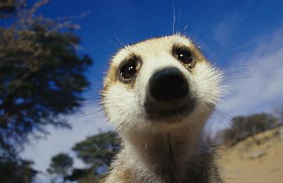 A Close View Of A Meerkats Face Poster by Mattias Klum