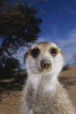 A Close View Of An Adult Meerkat Poster by Mattias Klum