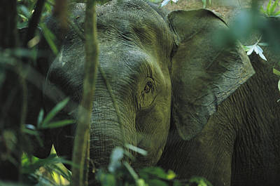 A Close View Of An Asian Elephant Poster by Tim Laman