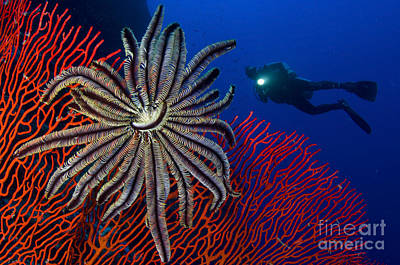 A Crinoid On A Bright Red Sea Fan Poster by Steve Jones