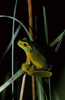 A Dainty Green Tree-frog Climbing Poster by Jason Edwards
