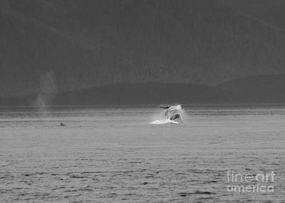 A Distant Breaching Whale In Black And White Poster by Darcy Michaelchuk