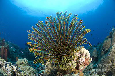 A Feather Star With Arms Extended Poster by Steve Jones