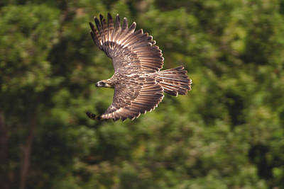 A Female Philippine Eagle Leaving Poster by Klaus Nigge