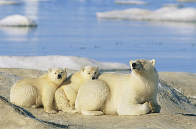 A Female Polar Bear And Her Cubs Poster by Norbert Rosing