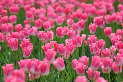 Poster featuring the photograph A Field Of Pink Tulips by Ronda Broatch