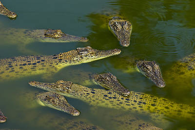 A Float Of Saltwater Crocodiles Sun Poster